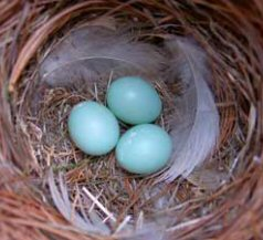 Bluebird egg variation in color