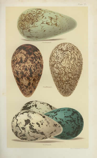 Guillemot - egg color variation
